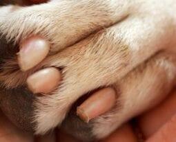 pig foot
