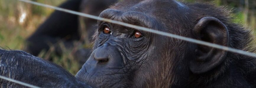 Illustrative image for Might Chimpanzees Have Legal Rights?