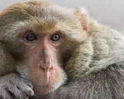 non-human-primate